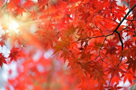 Brilliant fall color of a Japanese maple tree