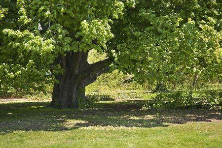A mature oak tree