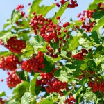 Flowering Shrubs That Like Shade
