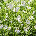 Annual Chickweed Producing White Flowers
