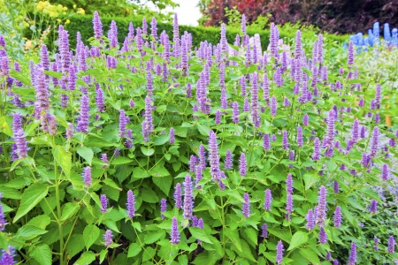 Agastache Blue Fortune