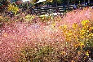 Pink Muhly Grass